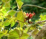 Monkey's Hand Tree (Chiranthodendron pentadactylon)_