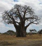 African Baobab (Adansonia digitata)_