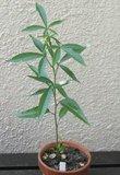 Grandidier's Baobab (Adansonia grandidieri)_