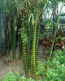 Buddha's Belly Bamboo (Bambusa ventricosa)_
