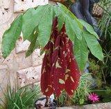 Cruz Caspi (Browneopsis uyacalina)_