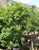 Peanut Butter Tree (Bunchosia argentea)_