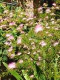 Fairy Duster (Calliandra eriophylla)_