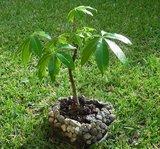 Kapok Tree (Ceiba pentandra)_