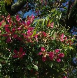 Silk Floss Tree (Ceiba speciosa)_
