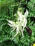 White Kaka Beak (Clianthus puniceus 'alba')_