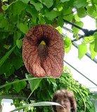 Brazilian Dutchman's Pipe (Aristolochia gigantea)_