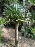 Canary Islands Dragon Tree (Dracaena draco)_