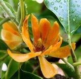 Golden Champaca (Magnolia champaca)_