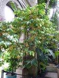 Calabash Nutmeg (Monodora myristica)_