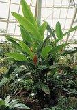 Scarlet Banana (Musa coccinea)_
