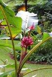 Pink Dwarf Banana (Musa velutina)_