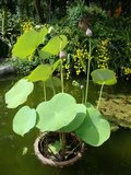Indian Lotus (Nelumbo nucifera)_
