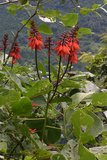Coral Tree (Erythrina arborescens)_