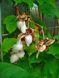 Levant Cotton (Gossypium herbaceum)_