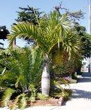 Spindle Palm (Hyophorbe verschaffeltii)_