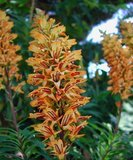 Canary Island Foxglove (Isoplexis canariensis)_