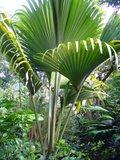Coco de Mer (Lodoiceae maldivica)_