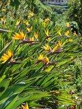 Bird of Paradise Flower (Strelitzia reginae)_