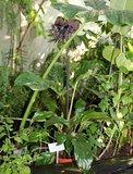 Black Batflower (Tacca chantrieri)_