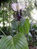 White Batflower (Tacca integrifolia)_