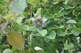 Passionflower (Passiflora actinia)_