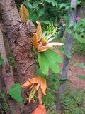 Australian Passionflower (Passiflora aurantia)_