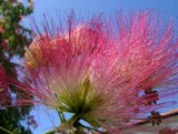 Persian Silk Tree (Albizia julibrissin 'E.H. Wilson')_