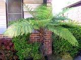 Rough Tree Fern (Cyathea australis)_