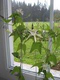 Passionflower (Passiflora capsularis)_