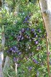 Purple Apple-berry (Billardiera longiflora)_