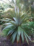 Mountain Cabbage Tree (Cordyline indivisa)_