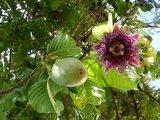 Giant Granadilla (Passiflora quadrangularis)_