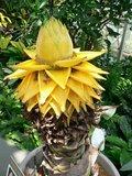 Golden Lotus Banana (Musella lasiocarpa)_