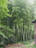 Moso Bamboo (Phyllostachys edulis)_