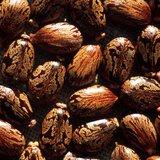 Castor Bean (Ricinus communis)_