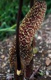 Voodoo Lily (Typhonium venosum)_