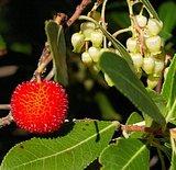 Strawberry Tree (Arbutus unedo)_