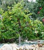 Kaki Persimmon (Diospyros kaki)_