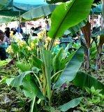 Cheesman Banana (Musa cheesmanii)_