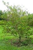 Sugar Apple (Annona squamosa)_