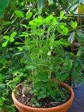 Peanut (Arachis hypogaea)_