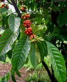 Arabica Coffee (Coffea arabica)_