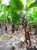 Dwarf Banana (Musa acuminata)_