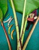 Bau Banana (Musa bauensis)_