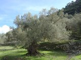 European Olive (Olea europaea)_