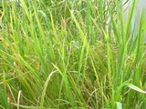 Rice (Oryza sativa)_