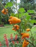 Nipple Fruit (Solanum mammosum)_