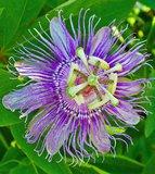 Maypop Passionflower (Passiflora incarnata)_