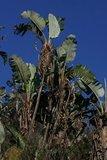 Mountain Strelitzia (Strelitzia caudata)_